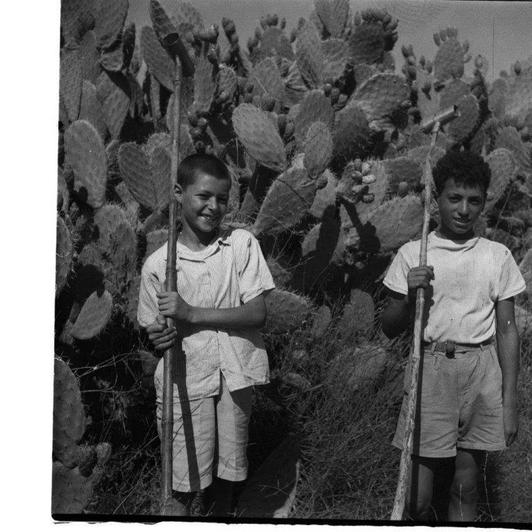 קטיף סברס באזור רמלה 1954
