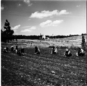עבודות גננות בחוות הלימוד, ירושלים, אפריל 1955